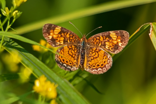 D-48-518 - Northern Crescent Butterfly. Huron County Nature Center. Oak Beach, MI.