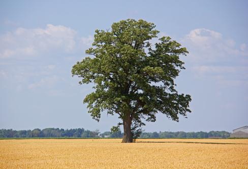 D-28-36 - Lone Tree in a Wheat Field. Caseville, MI.