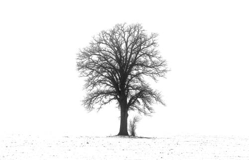 D-30-143 - Lone Tree in a snow-covered field. B&W. Caseville, MI.