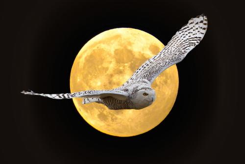 D-38-173 - Snowy Owl in flight. Fish Point Wildlife Area. Unionville, MI. Digitally enhanced.