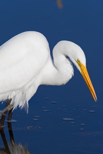 D-39-318 - Great Egret. Fish Point Wildlife Area. Unionville, MI.