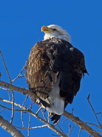 D-58-76 - Bald Eagle. Fish Point Wildlife Area. Unionville, MI.