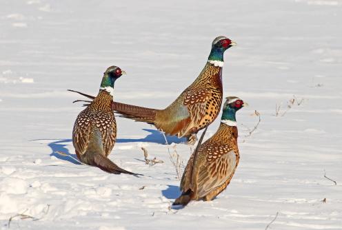 D-61-103 - Rooster Pheasants. Sebewaing, MI.
