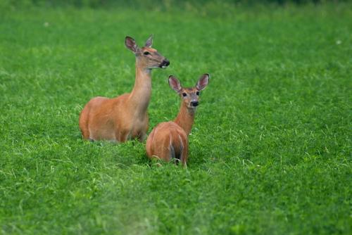 D-33-110 - White-tail Deer. Pinnebog, MI.
