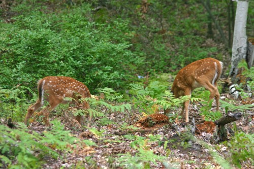 D-33-142 - Twin White-tail Fawns. Caseville, MI.
