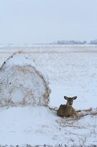 D-33-145 - White-tail Deer. Caseville, MI.