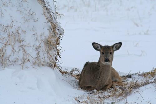 D-33-149 - White-tail Deer. Caseville, MI.