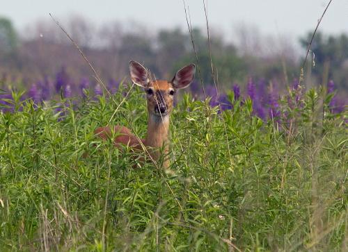 D-33-213 - White-tail Deer. Oak Beach, MI.