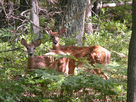 D-33-73 - Twin White-tail Fawns. Caseville, MI.