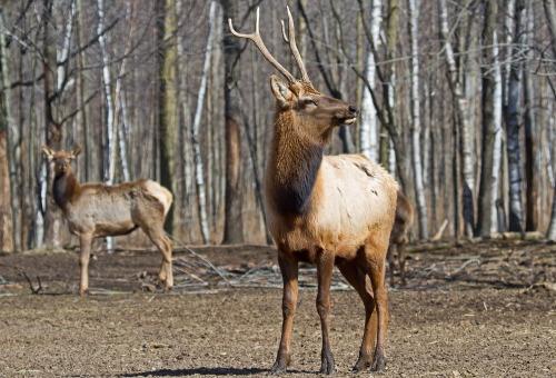 D-65-10 - Bull Elk & Doe Elk. Pinnebog, MI.