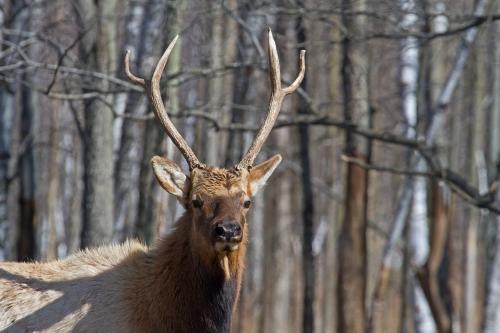 D-65-17 - Bull Elk. Pinnebog, MI.