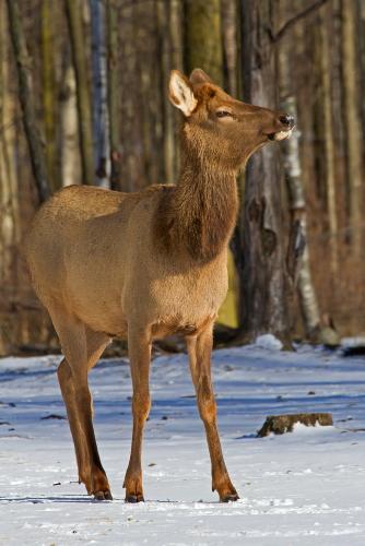 D-65-22 - Doe Elk. Pinnebog, MI.