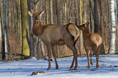 D-65-24 - Doe & Fawn Elk. Pinnebog, MI.