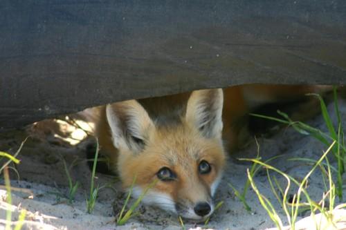 D-41-10  Baby Red Fox. Sand Point, MI.