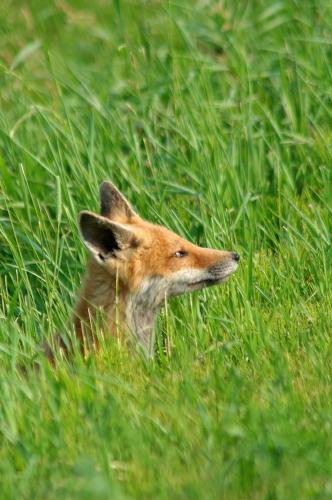D-41-21 Juvenile Red Fox. Caseville, MI.