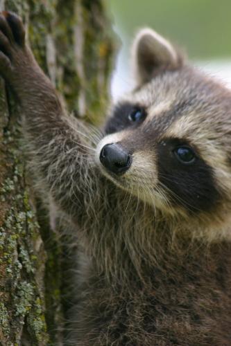 D-46-10 - Baby Raccoon. Mud Creek Public Access. Bay Port, MI.