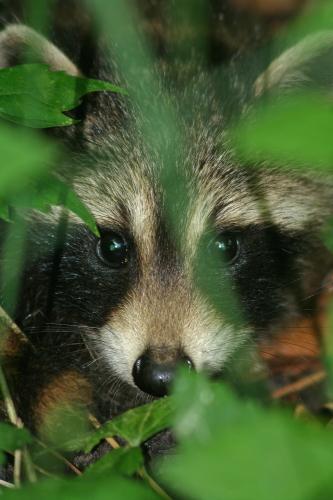 D-46-14 - Baby Raccoon. Caseville, MI.