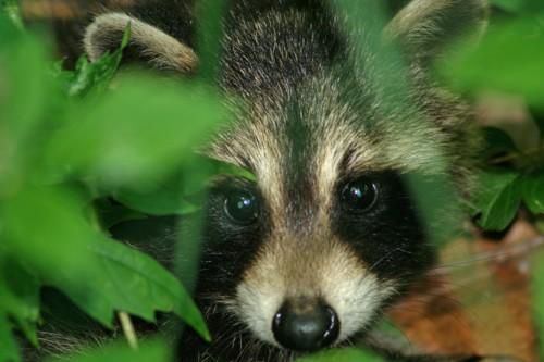 D-46-18 - Baby Raccoon. Caseville, MI.