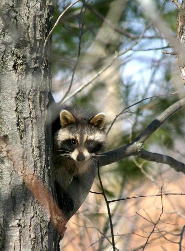 D-46-7 - Raccoon. Oak Beach, MI.