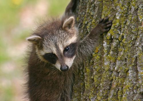 D-46-8 - Baby Raccoon. Mud Creek Public Access. Bay Port, MI.