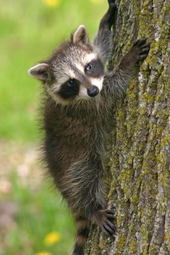 D-46-9 - Baby Raccoon. Mud Creek Public Access. Bay Port, MI.