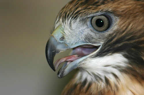 D-295-14 - Red-tailed Hawk. Bad Axe, MI.