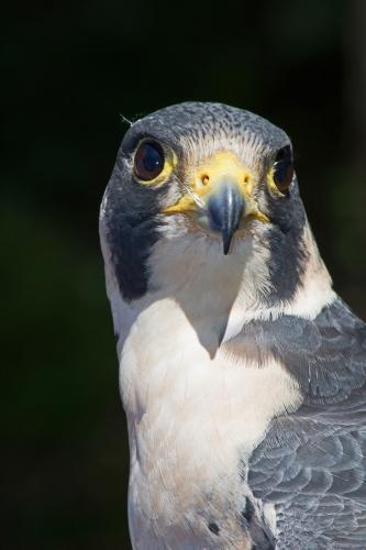 D-295-56 - Peregrine Falcon. Huron County Nature Center. Oak Beach, MI.