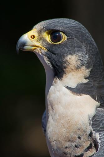 D-295-58 - Peregrine Falcon. Huron County Nature Center. Oak Beach, MI.