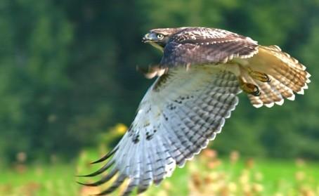 D-36-6 - Red-tailed Hawk. Pinnebog, MI.