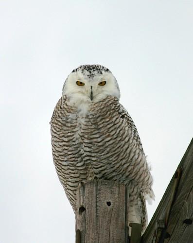 D-38-2 - Snowy Owl. Caseville, MI.