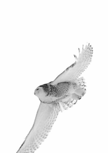 D-38-26 - Snowy Owl. Pigeon, MI.