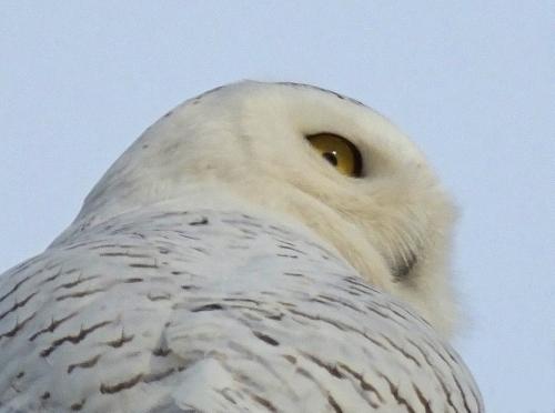 D-38-32 - Snowy Owl. Pigeon, MI.
