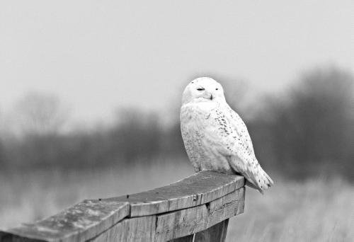 D-38-47 - Snowy Owl. Fish Point Wildlife Area. Unionville, MI.