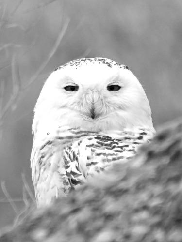 D-38-56 - Snowy Owl. Fish Point Wildlife Area. Unionville, MI.