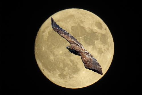 D-58-141 - Juvenile American Bald Eagle & Full Moon. Caseville, MI. Digitally enhanced.
