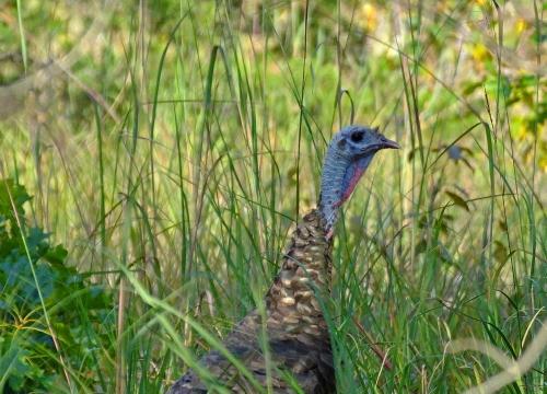 D-34-53 - Wild Turkey in Tall Grass. Oak Beach, MI.