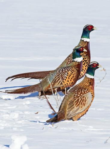 D-61-105 - Rooster pheasants. Sebewaing, MI.