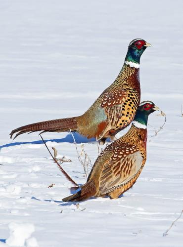 D-61-118 - Rooster pheasants. Sebewaing, MI.
