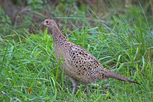 D-61-26 - Hen Pheasant. Sumac Island Public Access. Sebewaing, MI.