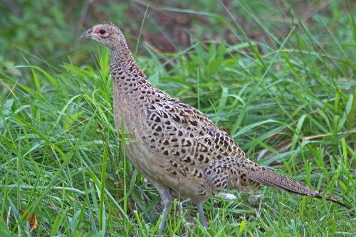 D-61-27 - Hen Pheasant. Sumac Island Public Access. Sebewaing, MI.