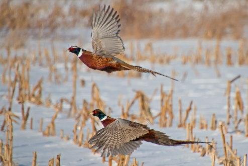 D-61-74 - Rooster pheasants in flight. Oak Beach, MI.