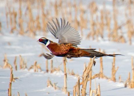 D-61-75 - Rooster pheasant in flight. Oak Beach, MI.