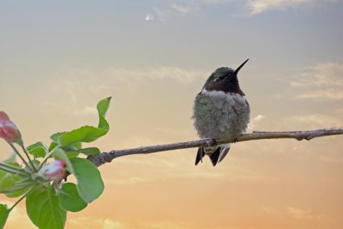 D-35-1106 - Male Ruby-throated Hummingbird. Digitally enhanced. Caseville, MI.