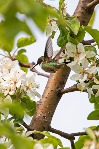 D-35-1154 - Female Ruby-throated Hummingbird. Caseville, MI.