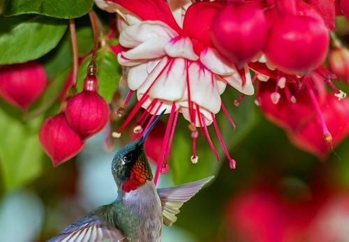 D-35-1277 - Male Ruby-throated Hummingbird & Fuchsia. Caseville, MI. Digitally enhanced.