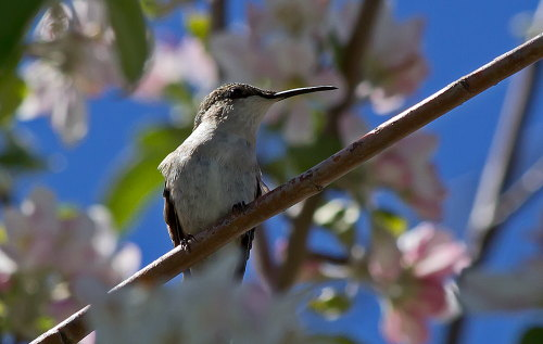 D-35-523 - Female Ruby-throated Hummingbird. Caseville, MI.