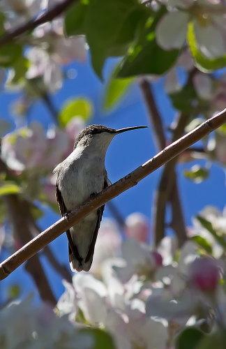 D-35-527 - Female Ruby-throated Hummingbird. Caseville, MI.