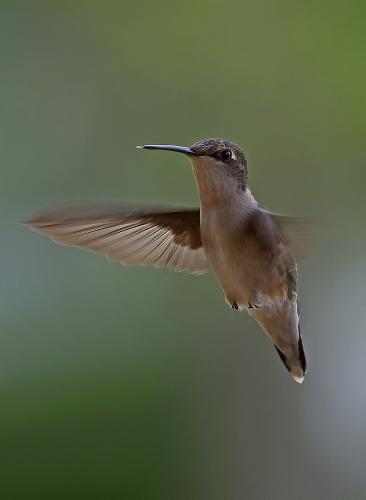 D-35-543 - Female Ruby-throated Hummingbird. Caseville, MI.