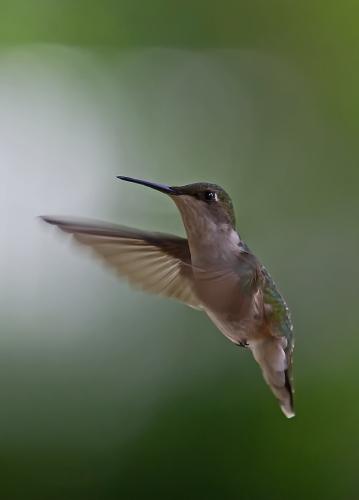 D-35-565 - Female Ruby-throated Hummingbird. Caseville, MI.