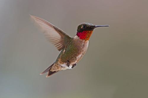 D-35-789 - Male Ruby-throated Hummingbird. Caseville, MI.